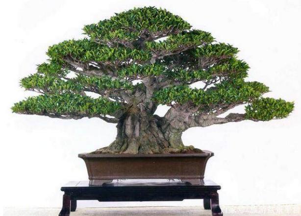 榕树盆景修剪注意事项