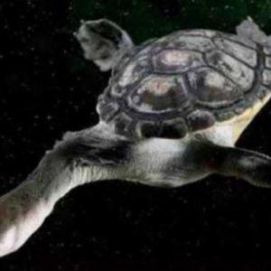 永不缩头的乌龟 巨蛇颈龟!