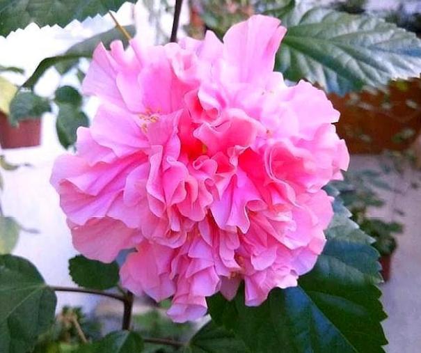 扶桑花如何养护才可以花色鲜艳?