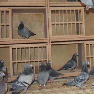 肉鸽养殖的特点 养殖过程中有什么特别注意的?