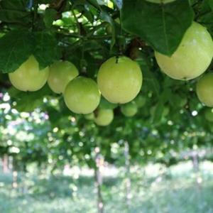 百香果的种植条件 如何提高百香果产量?