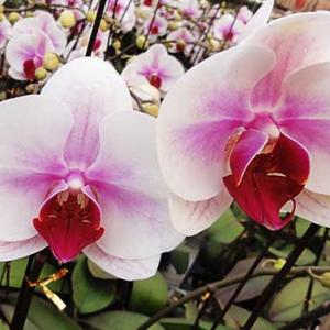 蝴蝶兰的日常养护措施和水培养护管理