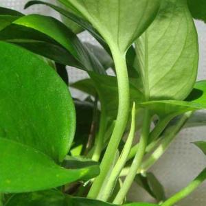 水培绿萝如何养殖 水培绿萝叶子发黄怎么办?