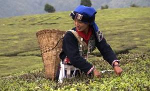 苍山雪绿茶的功效与作用都有哪些