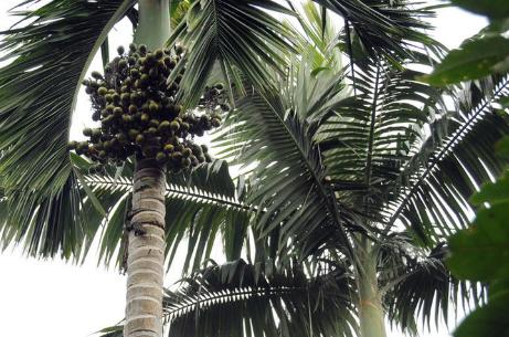 檳榔樹種植技術都有哪些