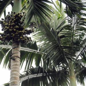 槟榔树种植技术都有哪些