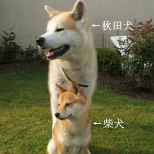 柴犬和秋田犬如何区分 秋田犬和柴犬哪个比较好养?