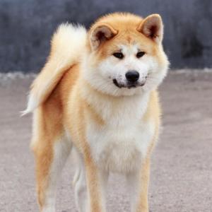 秋田犬幼犬的价格行情 买之前一定要了解清楚!