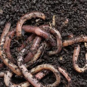 养蚯蚓需要注意什么 要在什么条件下进行呢?
