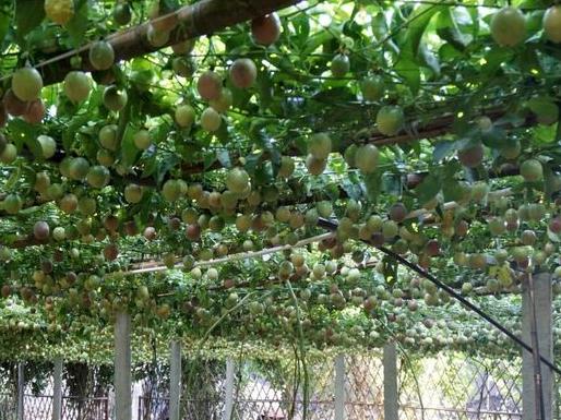 百香果種植技術都有哪些