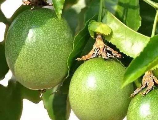 百香果种植技术都有哪些