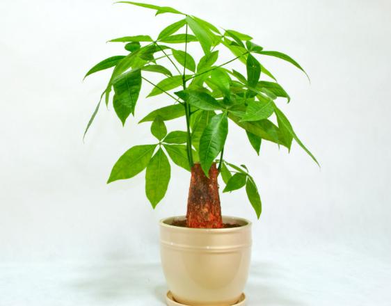 发财树该怎么养植