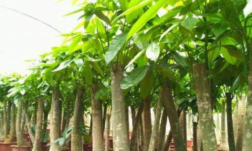 发财树的养殖方法和注意事项都有哪些呢?