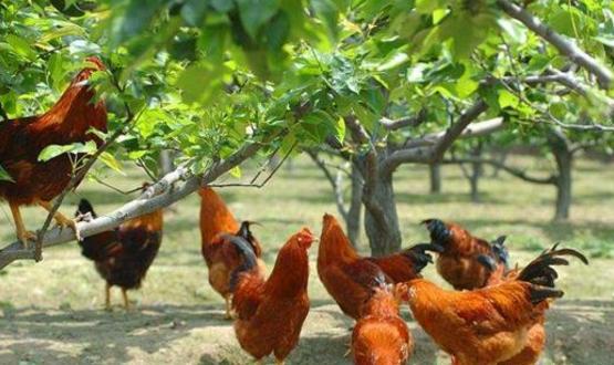 鸡的饲养需要哪些条件