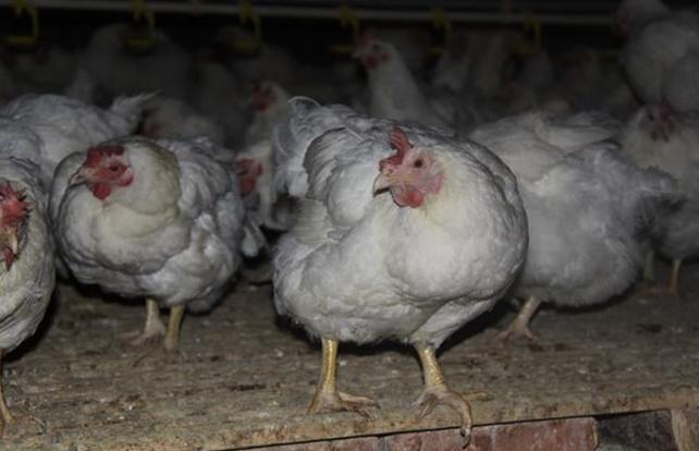 白羽鸡的养殖技术