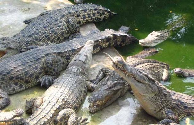 鳄鱼的养殖技术