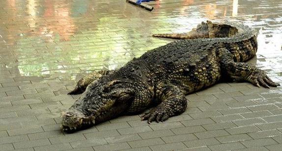 鳄鱼的养殖前景