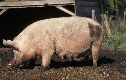 母猪配种管理技术具体有哪些