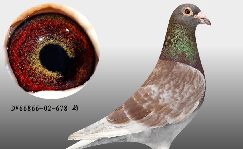 怎样鉴别好种鸽?