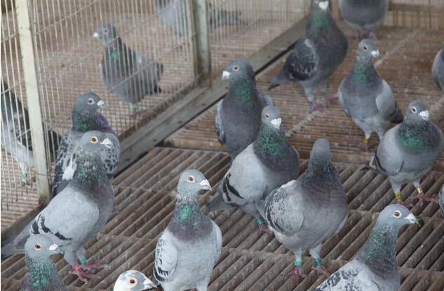 种鸽:雄鸽和雌鸽的遗传