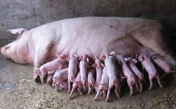 母猪产后催乳的方式有哪些