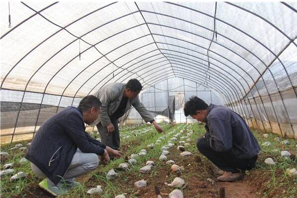 羊肚菌母种的制作及注意事项