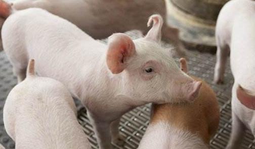 养猪效益低的原因有哪些?