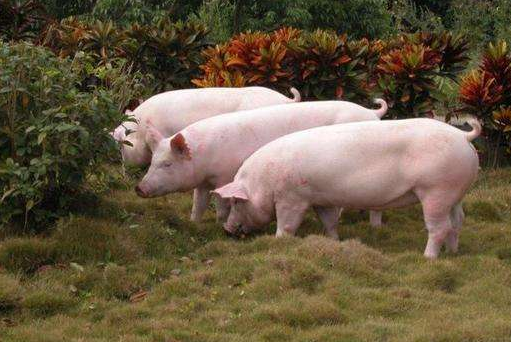 农村养猪该选哪些品种