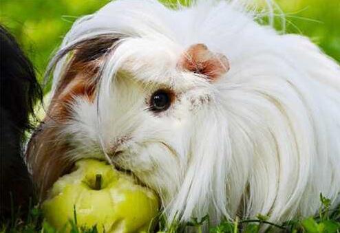 养一只荷兰猪需要多少钱?