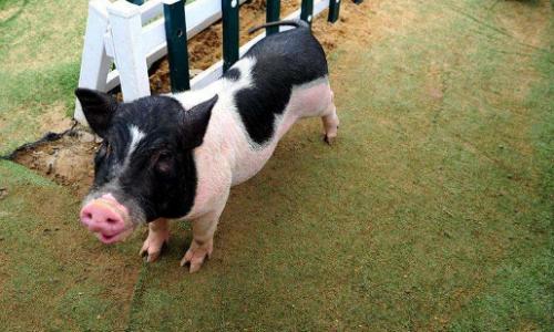 宠物猪会长大吗
