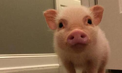 宠物猪会长多大