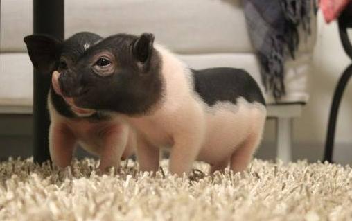 如何控制小香猪不长大