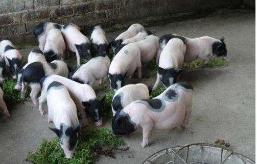 香猪是什么