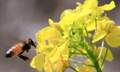 油菜花蜜的功效有哪些