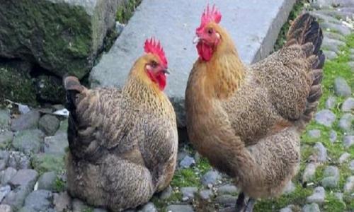 鸡掉毛什么原因