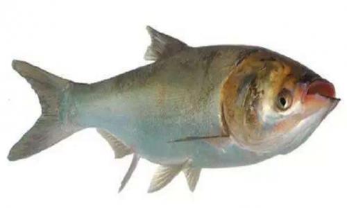 花鲢鱼的养殖技术