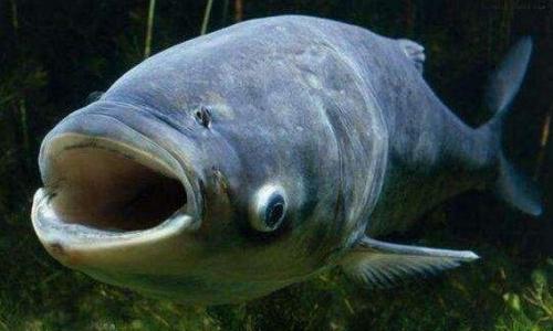胖头鱼的养殖方法