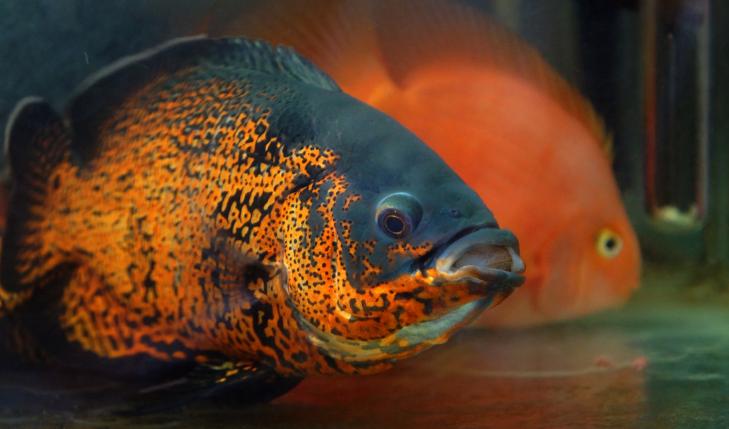 地图鱼的饲养注意事项