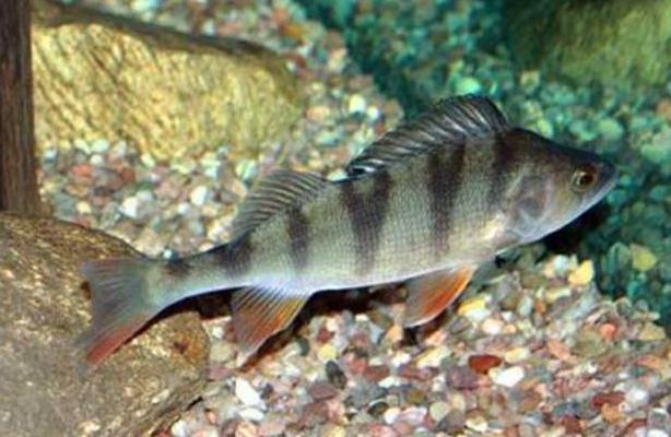 多宝鱼养殖常见疾病防治方法