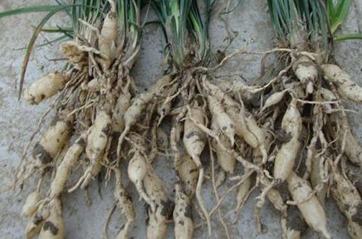麦冬的功效与作用有哪些