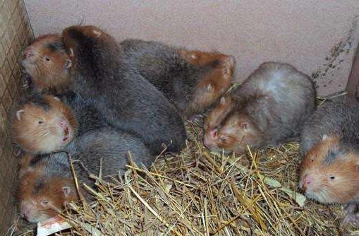 农业发展:竹鼠养殖:或