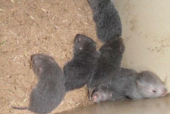 现在养殖竹鼠有销路吗