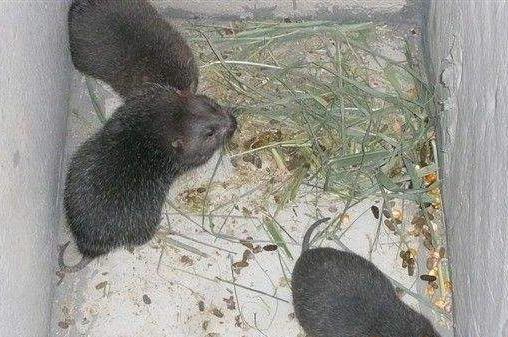 竹鼠养殖:放养密度为3