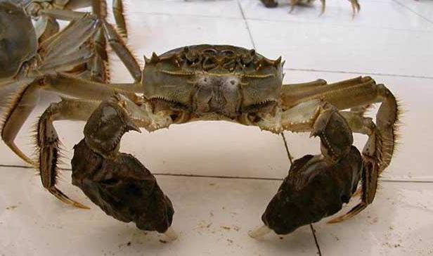 正常螃蟹有几条腿?