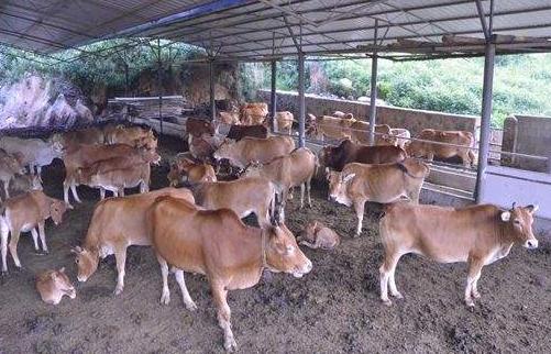 建设养牛场时应注意哪些小问题