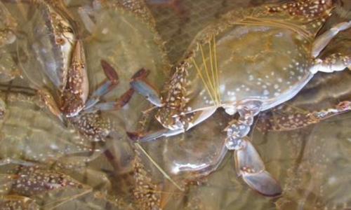 梭子蟹的高效混养方法