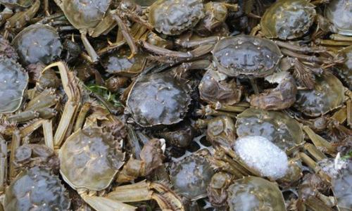 河蟹养殖的管理要点