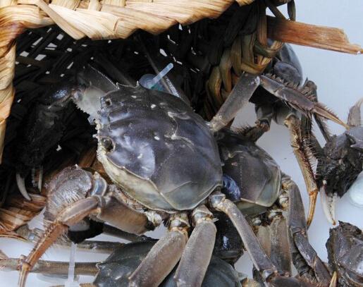 大闸蟹养殖的方法