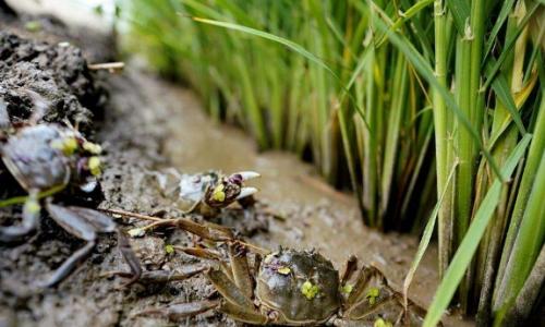 螃蟹的养殖技术要点