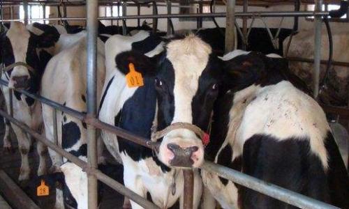 奶牛如何顺利过冬